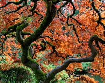Red Maple, Autumn Photo Fall Colors Japanese Garden Photograph Autumn Colors Red Leaves Tree nat114