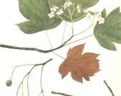 Wild Service Tree, Vintage Tree Print, Botanical Book Plate 36, Deciduous Hardwood, Nature, Landscape, Frameable Art, 1977, Raymond