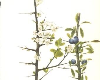 Blackthorn, Sloe, Vintage Tree Print, Botanical Book Plate 25, Hardwood, Nature, Landscape, Frameable Art, 1977, Raymond
