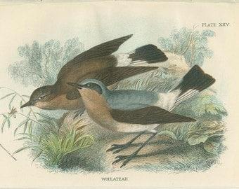 Wheatear, Antique Bird Print, Richard Lydekker, Ornithology, Vintage 1896, Chromolithograph Plate 25