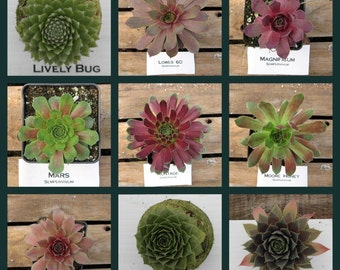 Sempervivum, Hens and Chicks, Choose your Winter Hardy Succulent  #LO4