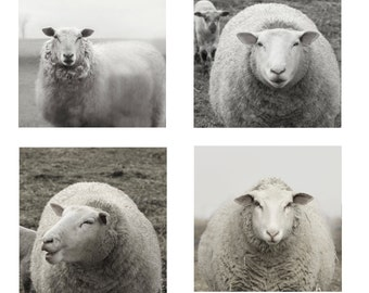 CHOOSE ANY Set of Four Pregnant Ewes Sheep Photography Animal Photography