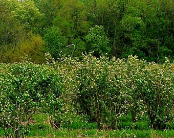 Four Season 8x20 Fine Art Prints of blueberry orchard,Tippecanoe County,  Indiana