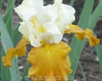 Tall Bearded Iris FALL FIESTA 1992 Ruffled Honey Tan and White