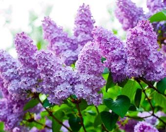 SCRUB ~ Lilac Body Scrub Sugar or Sea Salt Body Polish 8 oz Jar ~ Lilac Flowers