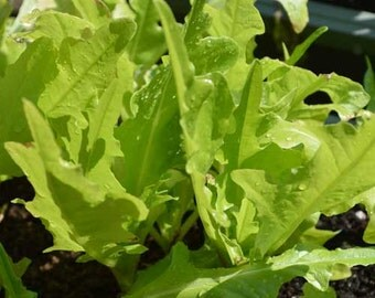 Organic Oak Leaf Lettuce Seeds