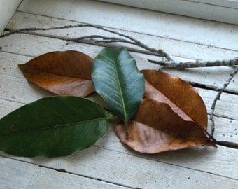Magnolia Leaves for Witch's Alter, Wreaths, Ornaments, Hoodoo, Spells, Shaman, Pagan, Wiccan, Scenting, Banishing, Cleansing, Protection.