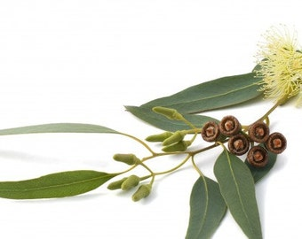 1/2 oz (15ml) or 1 oz (30 ml) 100% EUCALYPTUS ESSENTIAL OIL - Aromatherapy - Sauna & Steam Room Use - Laundry / Cleaning Additive