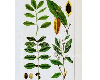 Coffee & Tea - Antique Book Plate Page - BEVERAGE PLANTS - Digital Download Printable