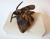 Death Head Hawk Moth Needle Felted Art Model