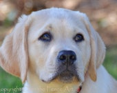 YELLOW LABRADOR  PUPPY Photograph Greeting Card  Dog Portrait Pet Portrait