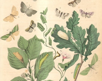1863 Antique Hand Coloured Copper-plate Engraving of Owlet Moths