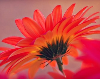Gerber Daisy Floral Photography Red,happy flower,gerbera daisy,Gifts under 25,crimson,scarlet,summer,bright orange flower,glowing petals
