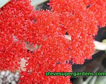 Crassula falcata (Propellar Succulent)  Huge, gorgeous flower heads.