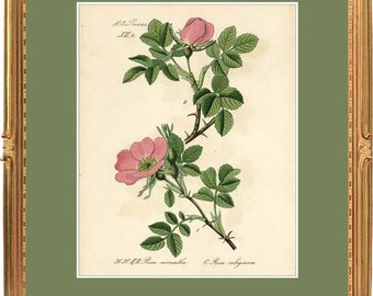Sweet Briar Rose - Botanical print reproduction 2630