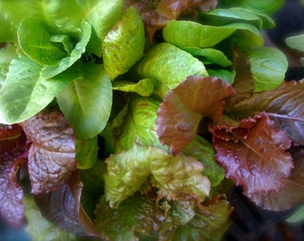 SALE Organic Heirloom All-Stars Lettuce Exclusive Custom Mix Seeds Red and Green Cool Season into Summer Mix