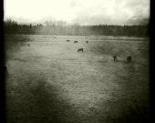 Cows in pasture print, black and white square photo, Instagram photo canvas, moody pastoral farm photography