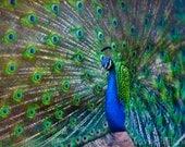 8 x 12 Fine Art Print Peacock feather display