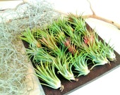 TREASURY ITEM -  30 Air plants - FREE Moss - Tillandsia - diy projects - terrariums - crafts - supplies - wedding favors - Holiday gifts