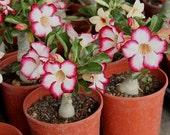 Adenium obesum 5 Seeds Bulk desert rose Bonsai Tree Flower Seeds T029