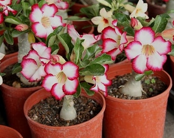 Adenium obesum 5 Seeds Bulk desert rose Bonsai Tree Flower Seeds T029