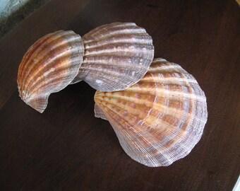 3 Giant Scallop Shells, Fish Tank, Bathroom Decor, Seaside, Nesting, Cottage, Decor, Ornage, Red, White, Large Shells, Scallops,