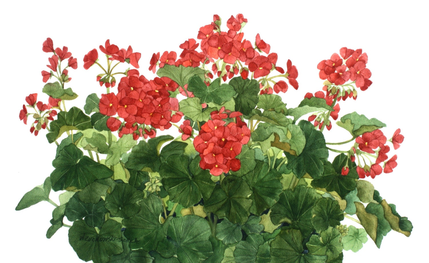 Red Geranium 2 Watercolor Painting Reproduction By Wanda S