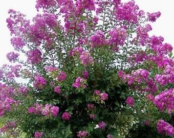 Dwarf Mexican Petunia Ruellia Quart Size By Arborfieldplants