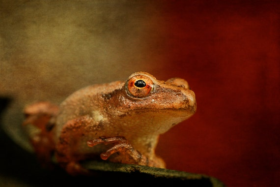 Photography, Fine Art, Woodland Creatures, Frogs, Northern Spring Peeper, Photo, Animals, Unique Gift, Wall Decor, Gift Ideas, Wall Art