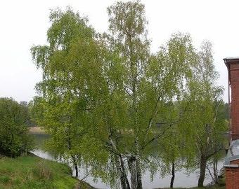 1000 Silver Birch Tree Seeds, Betula Pendula, alba