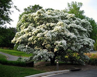 1000 Chinese Fringe Tree Seeds, Chionanthus Retusus