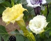 Datura Ballerina Mix, Moonflower Seeds, Lovely Fragrance Too, 5 Seeds