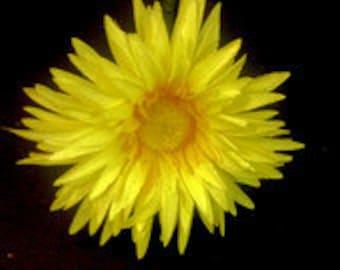 Yellow Gerbera Daisy Flower Pen