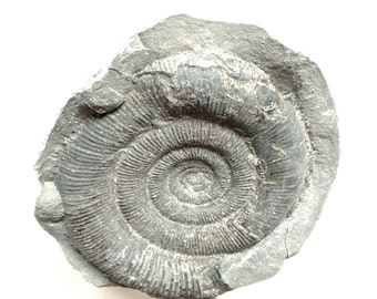 Jurassic fossil ammonite geology rock nodule collector collectable paperweight fossilised paleontology palaeontology