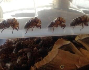 25 Real Cicada ExoSkeletons - Cicada Sheds/Skins  Entomology