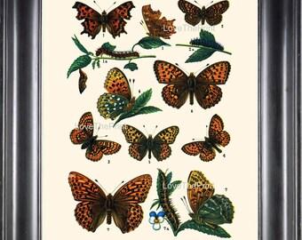 EUROPEAN BUTTERFLY PRINT  Botanical Art Print 4 Beautiful Butterflies Caterpillar Spring Summer Flower Garden to Frame