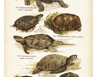ntique Natural History Print - Turtles