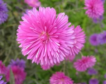 Plena cuide flower seeds ,  aster petals seeds , aster petals flower, code 125,gardening, spring flowers, greek flowers seeds, garden