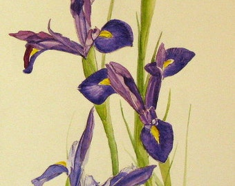 Original Iris watercolor