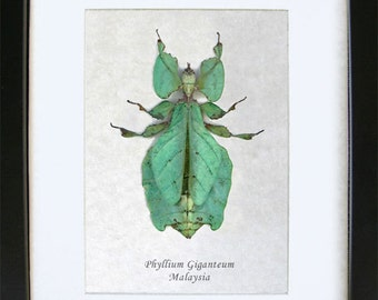 Mimic Leaf Phyllium Giganteum Museum Quality In Shadowbox