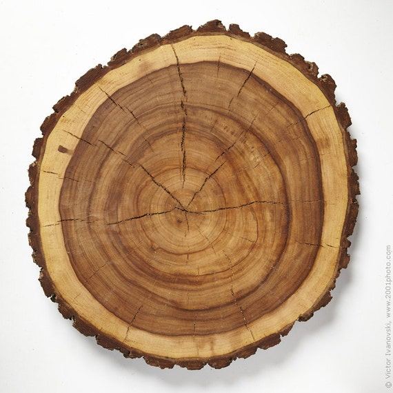 Natural large wood slab tree slices 19 5 inch 49cm by for Large tree trunk slices