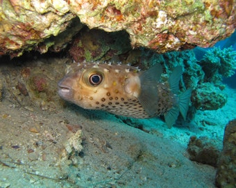 Download digital photo - A Puffer Fish in the coral reefs of the Red Sea