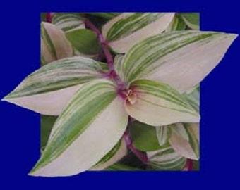Rainbow Variegated Purple, White & Green Wandering Jew Starter Plant