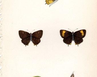 1853 Antique Butterfly Print Morris Butterflies Natural History  Entomology