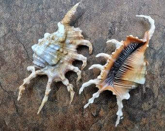 """Scorpion Conch Seashell (4-5"""") - Lambis Scorpio"""