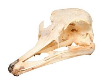 Real Bone Ostrich Skull