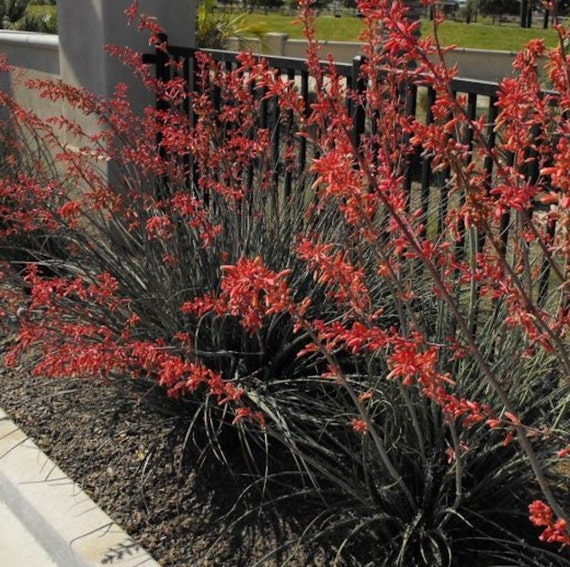how to grow red yucca from seed