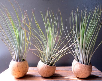 25 Juncea Air Plants in Natural Seed Pod Containers - Fast FREE Shipping - 30 Day Guarantee - Wholesale Air Plants - Bulk Air Plants