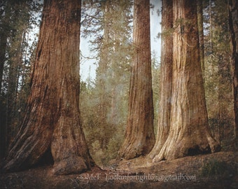 Tree Photography | Sequoia Woodlands Art | Mariposa Grove Photo | Yosemite National Park | Tree Canvas Art | Forest Photo California Nature