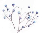 Blue Baby's Breath - Pressed Flowers